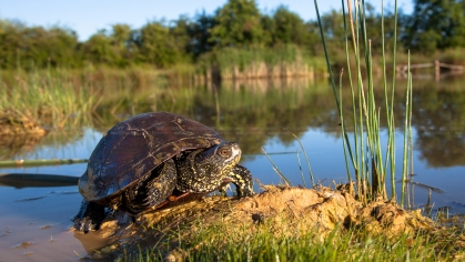 Moerasschildpad