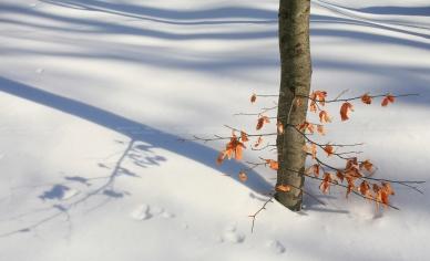 Beuk in de sneeuw