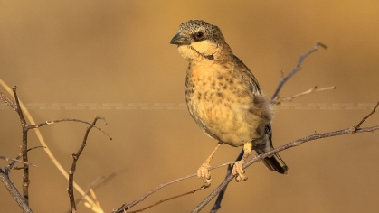 Donaldson-Smith's Sparrow-weaver