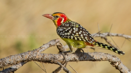 Red-and Yellow Barbet