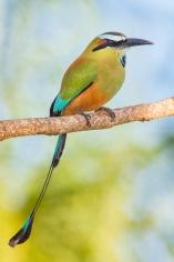 Turquoise-borwed Motmot
